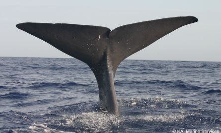 The flukes of a sperm whale (Physeter macrocephalus) lifted high into the air preparing for a deep dive. It is the largest toothed cetacean present in the Mediterranean, with the males growing up to 18 metres in length. Sperm whales can often be observed throughout the Mediterranean, with their preferred habitats being deep sea canyons.