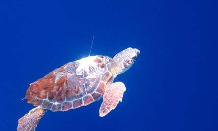 Released turtle.