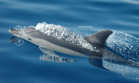 The striped dolphin (Stenella coeruleoalba)